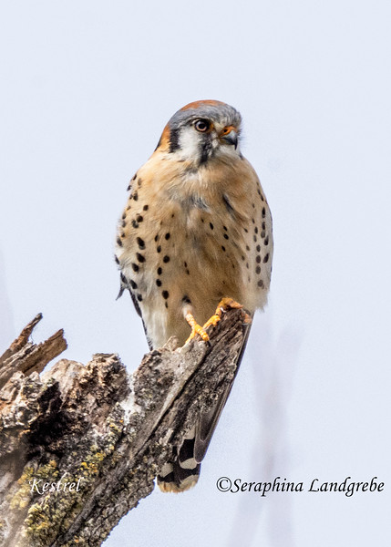 _DSC9512Kestrel on Tree.jpg