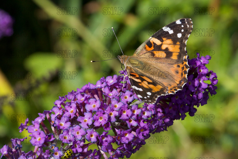 Painted Lady; Cosmopolitan; Thistle Butterfly (Vanessa cardui).