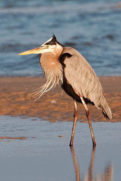 Heron - Great Blue - St. George Island State Park, FL - 07