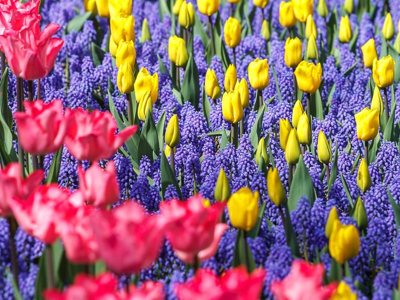 Tulips Art.