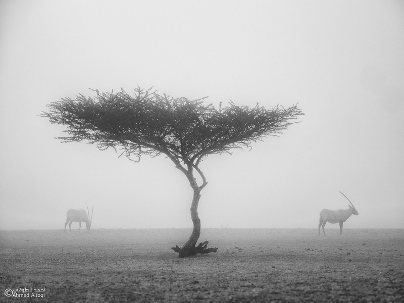 Arabian Oryx (26)- B&W.jpg