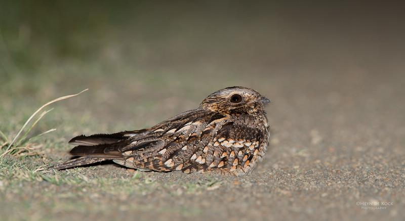 Fiery-necked Nightjar, Hobhouse, FS, SA, Dec 2013-2.jpg