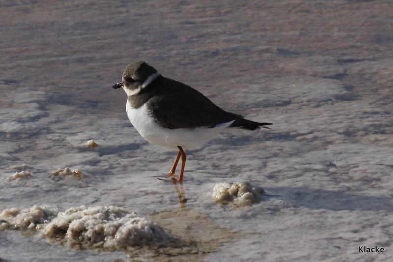 Common Ringed Plover, Större Strandpipare