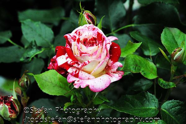 05-24-2014 Antique Rose Farm