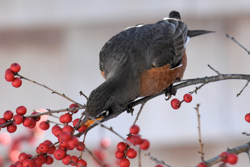 #1257  American Robin eating Winterberry