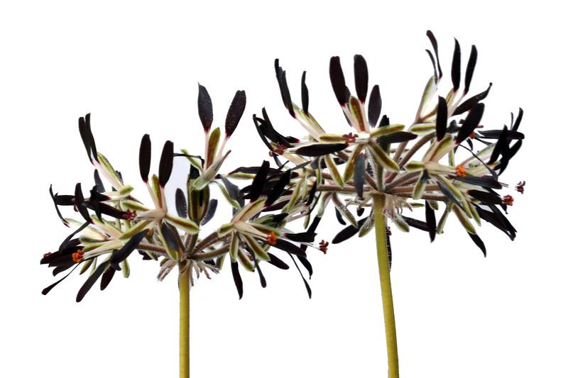 Pelargonium auritum flowers