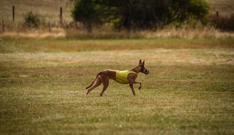 pharoahhound-10.jpg