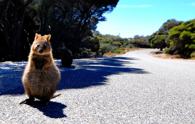 Quokka, Rottnest Island, Western Australia