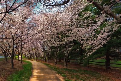 Baron Cameron Park - Cherry Blossoms