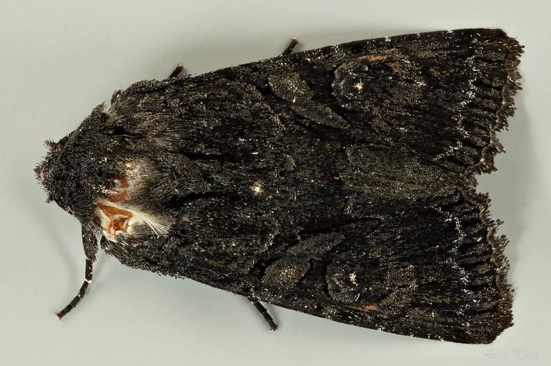 Neumichtis nigerrima Guenée, 1852 (Noctuidae)