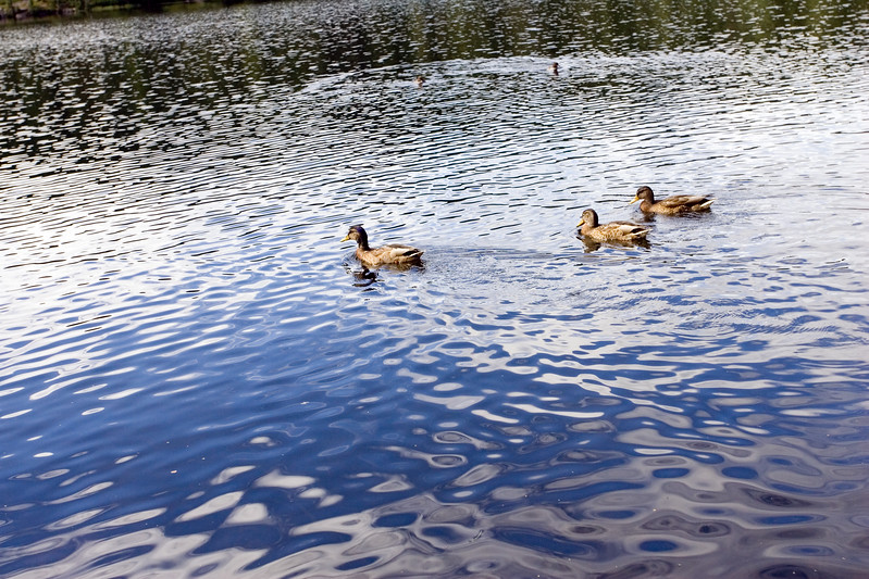 Ducks swimming on a lake with nice reflections on the water surface.