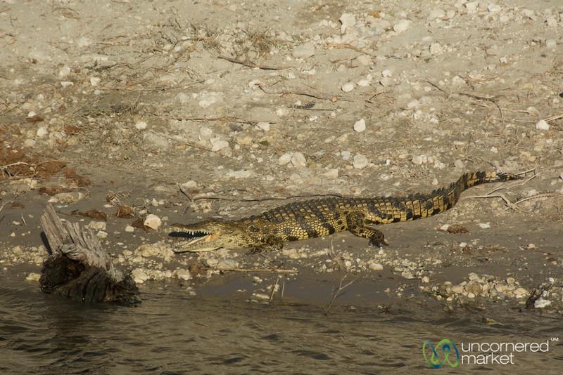 Crocodile at Water's Edge - Chobe River, Botswana