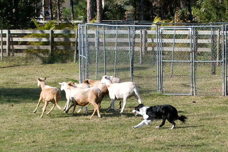 #405 - Justamere Gaelic Storm, HTDI, a Border Collie, qualified on the HRD I course.  She is owned by Kimberly & Paul Dahan.