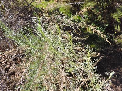 California Sagebrush (Artemisia californica)