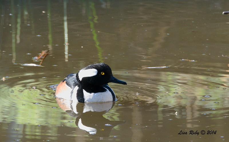 Hooded Merganser - 12/09/2014 - Poway Creek