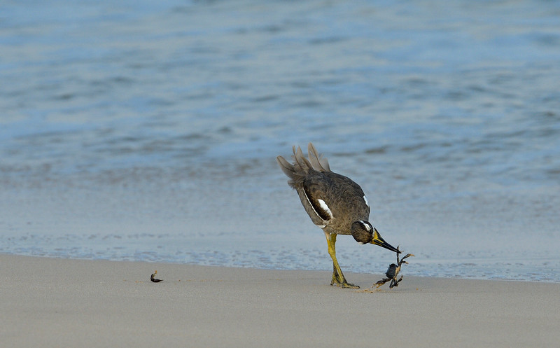 Beach-Thick-knee-with-crab-little-andaman-6.jpg