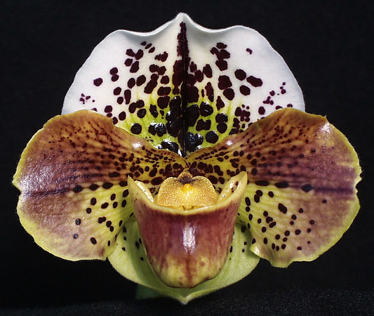 Marriott Orchids Paphiopedilum Photo Gallery