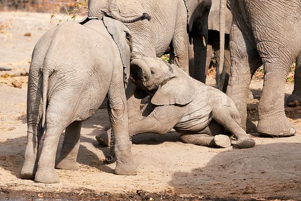 Elephant Sitting Up Mashatu Botswana 2019