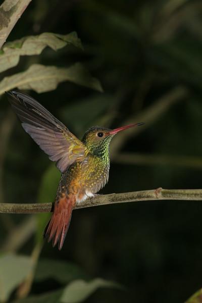 Rufous Tailed Hummingbird Ecuador