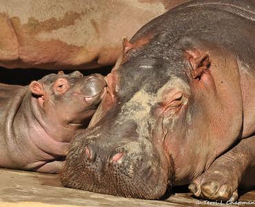 "Rosie ""The Baby Hippo"""