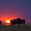 Wildebeests at sunset