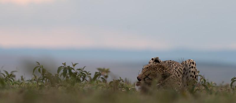 2019-08 Maasai Mara Cheetahs
