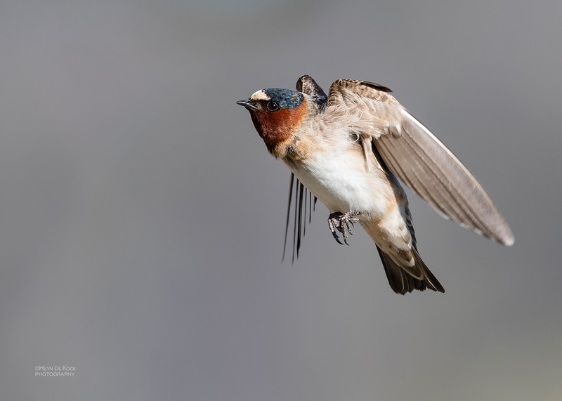 American Cliff Swallow, Yellowstone NP, WY, USA May 2018-5.jpg