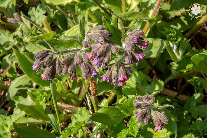 Pulmonaire des montagnes (Pulmonaria montana)