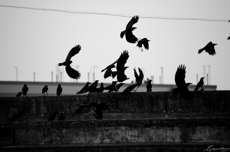 """The collective noun IS """"a parliament of crows"""""""