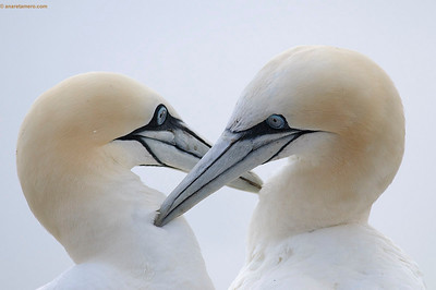 Gannets/ Alcatraces