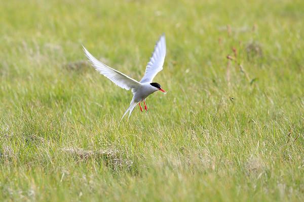 Arctic Terns Iceland 2016