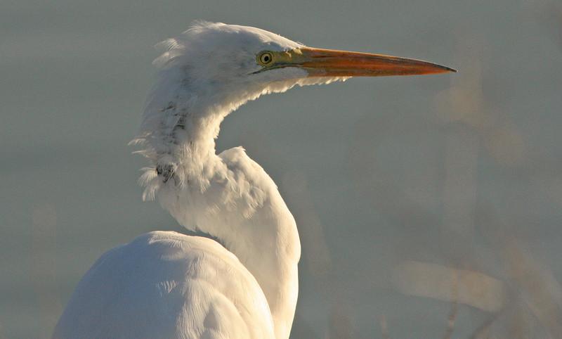 WB~Great Egret Portrait in Blue (ardea alba)~Carol Etchebarren.jpg