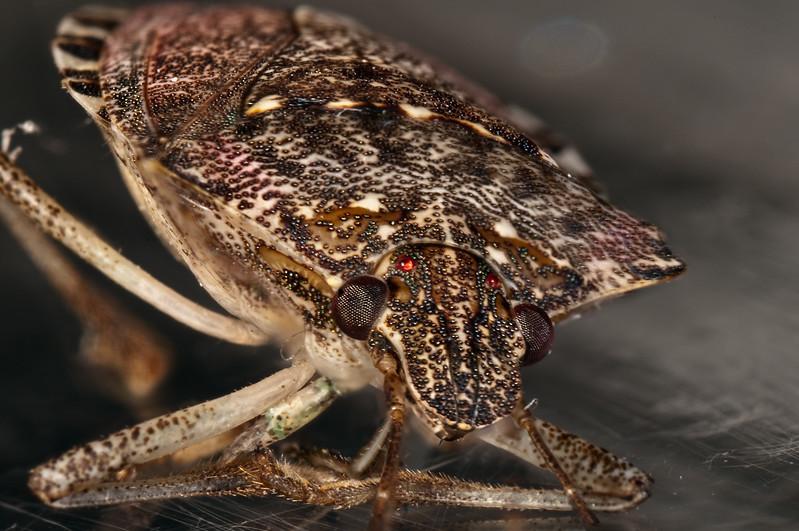 Stink Bug Portrait.jpg