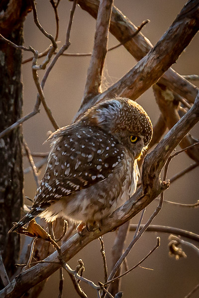 143.Dee Toweill.1.Spotted Owl.jpg