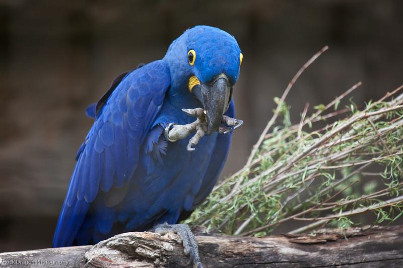Hyacinth Macaw, Calgary Zoo, June 22