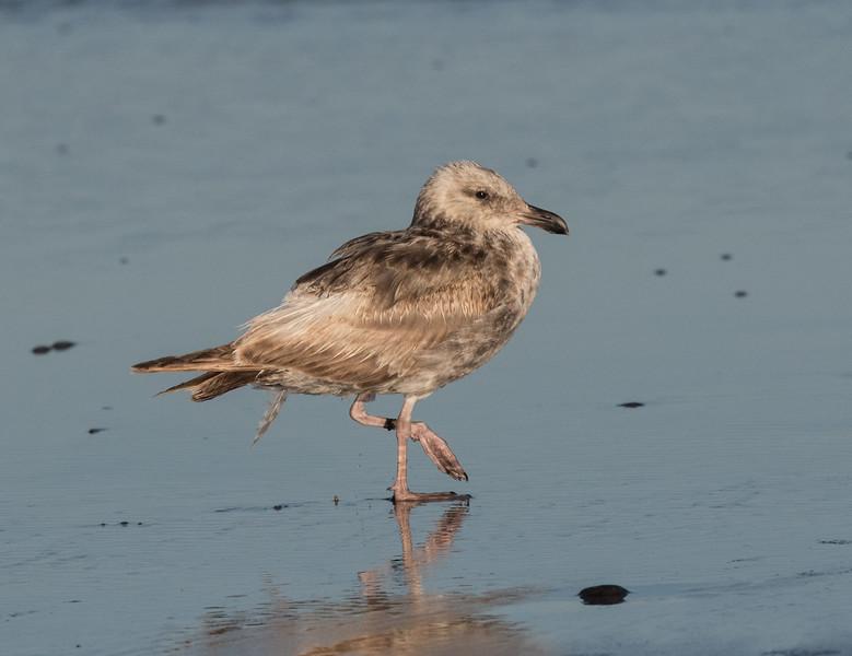 Western Gull Cardiff Beach 2020 06 09-1.CR2