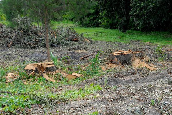 Oak Trees Destroyed for CVS Pharmacy