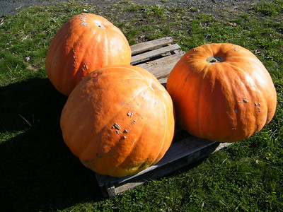 Pumpkins, Dunns Farm Stand, South Tamaqua (10-17-2011)