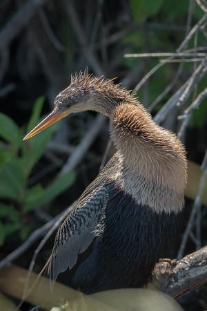 03_Everglades - Anhinga