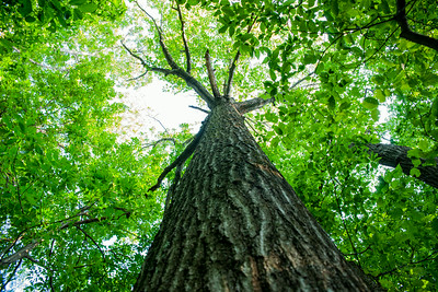3.3 Tall Oak