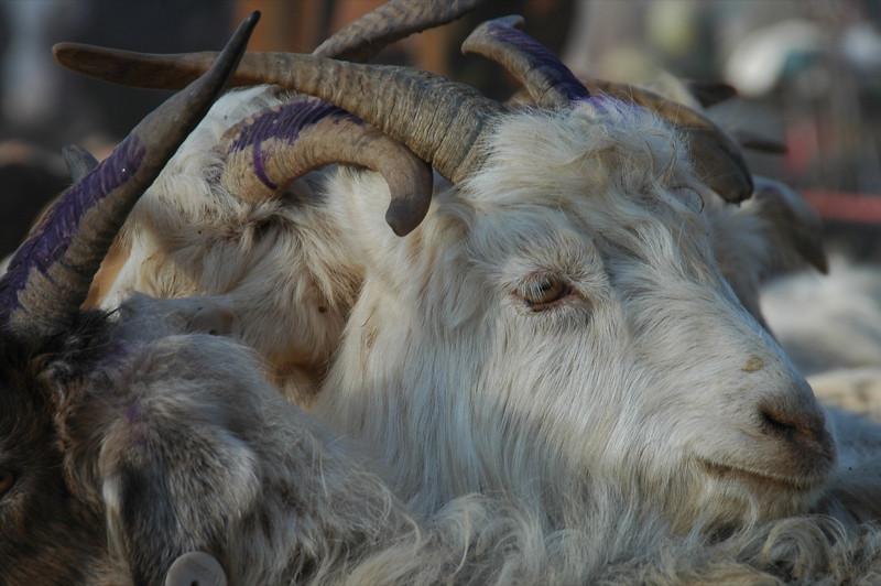 Kashgar Animal Market: Goats for Sale - China