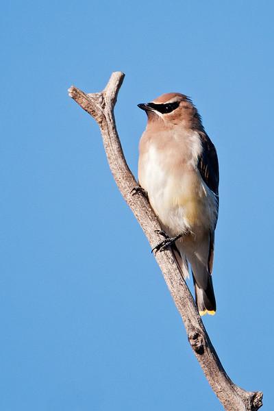 Waxwing - Cedar - juvenile - Lake Vadnais - Shoreview, MN