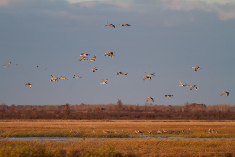 Sandhill Cranes flight flying fly in roost Crex Meadows Grantsburg WI IMG_1825.jpg
