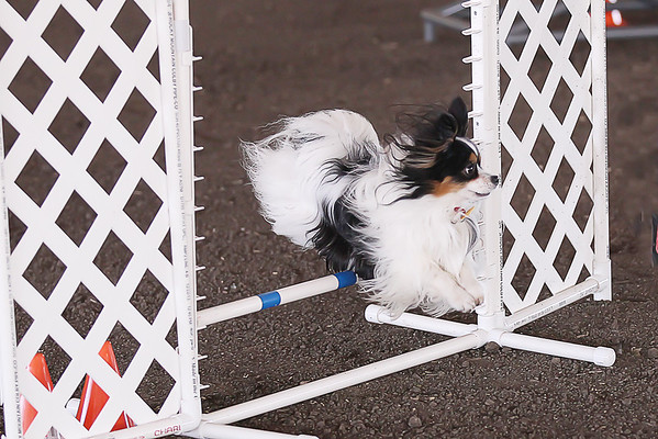 Sunday Agility Competition