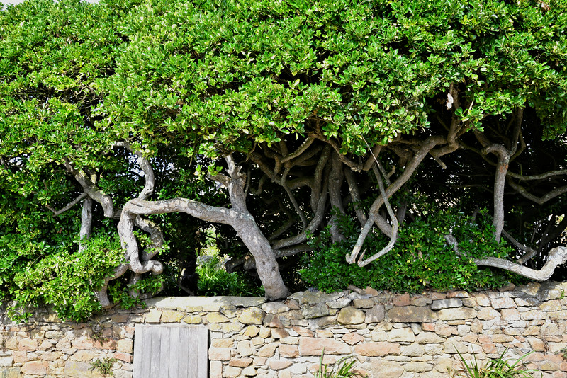 Trees in Brittany~9893-1.