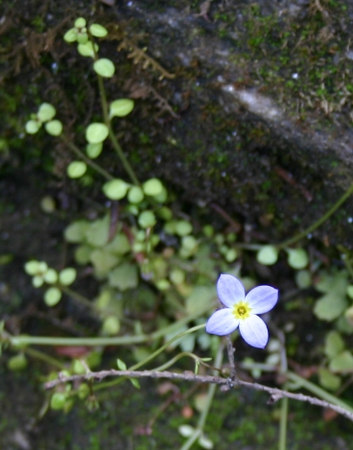 Houstonia serpyllifolia