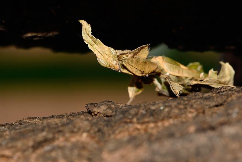 Leaf-Mantis-01.jpg