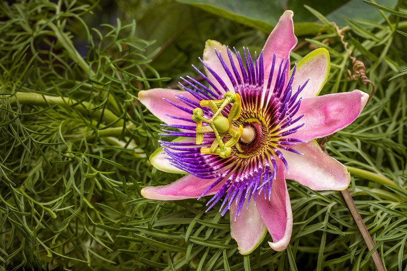 00370 Passion Flower Otus Angle.jpg