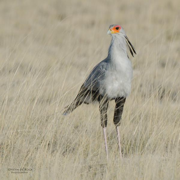 Secretary Bird, Etosha NP, Namibia, July 2011-1.jpg