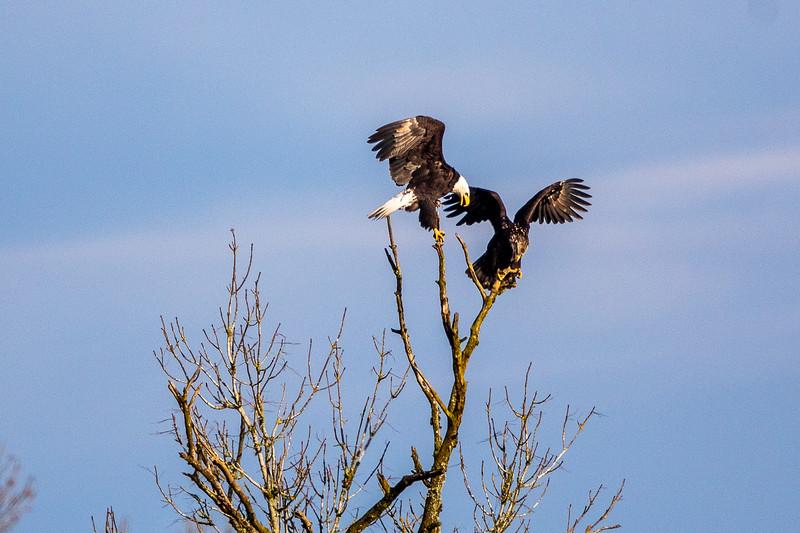 Bald Eagle Tree Dispute -0165.jpg